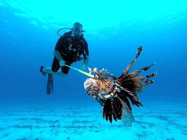 a very big lionfish - stingray villa, Cozumel