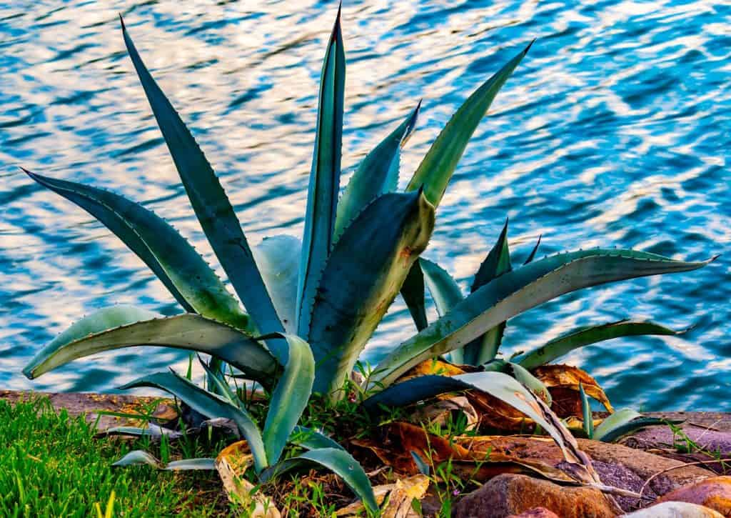 Agave plants on Cozumel - stingray villa