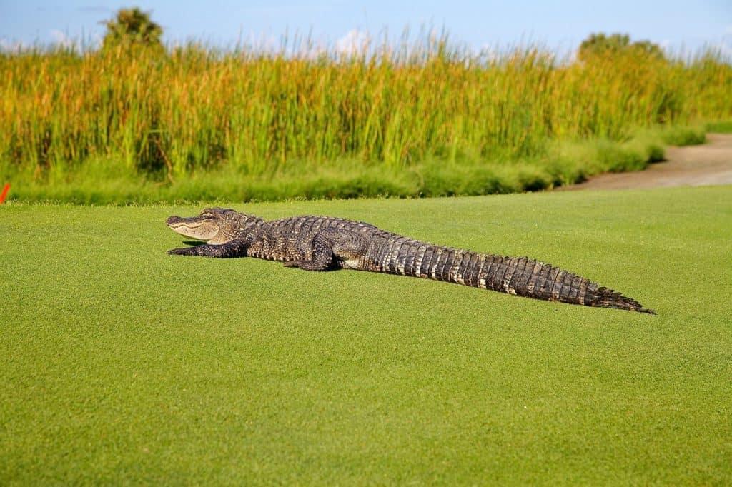 The alligator guards the golf course - stingray villa, Cozumel