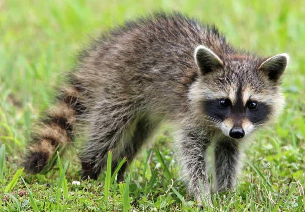 Raccoons on Cozumel Mexico - Stingray Villa