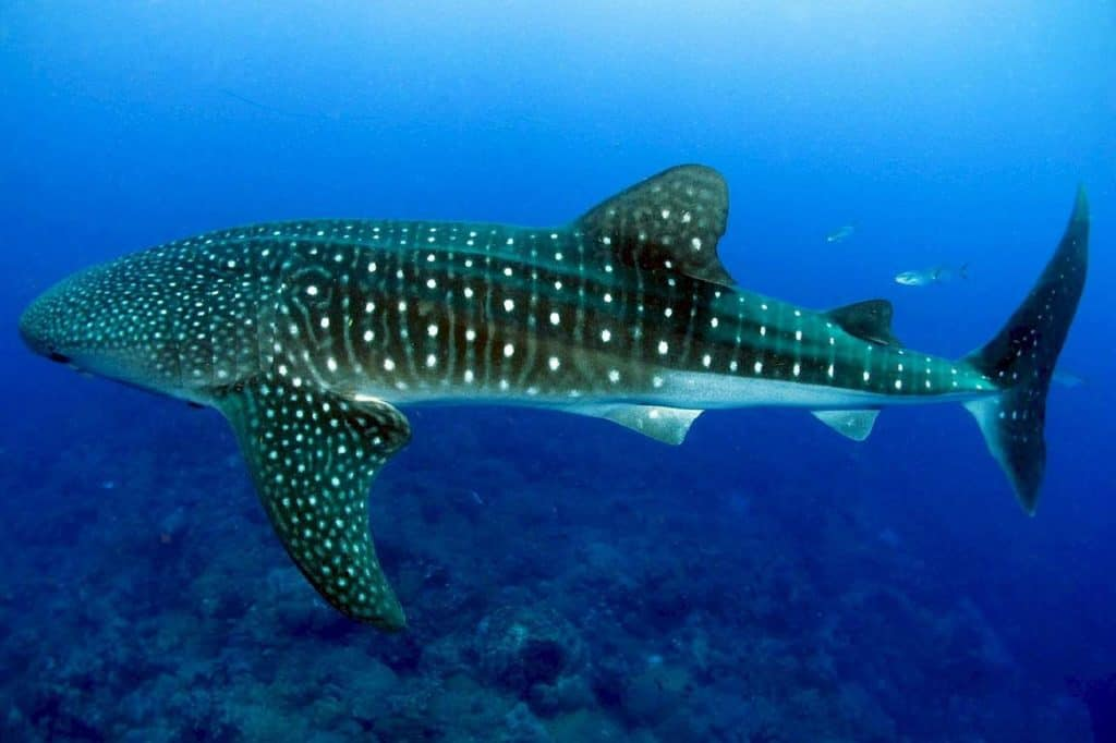 The Whale Sharks north of Cozumel